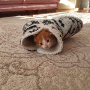 Gamsız Kedi